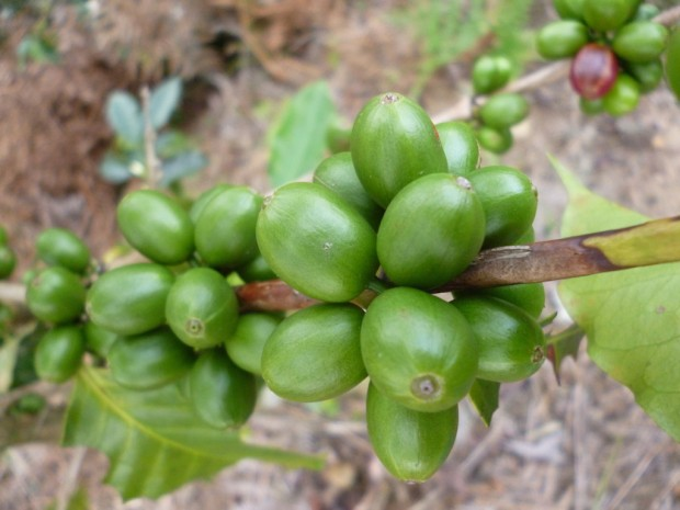 Caturra coffee growing in Colombia.