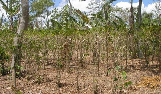The Costly Effects of the Current Drought on Coffee Farmers