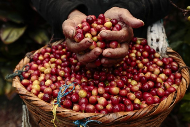 A Reflection on Coffee Pickers During this Time of Harvest