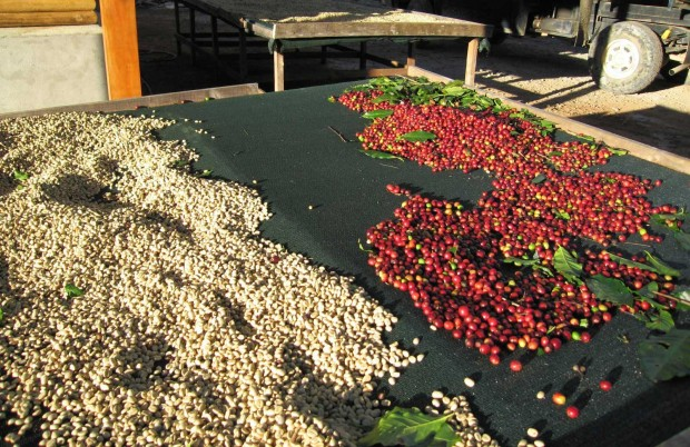 Coffee-cherries-green-coffee-tarrazu-costa-rica