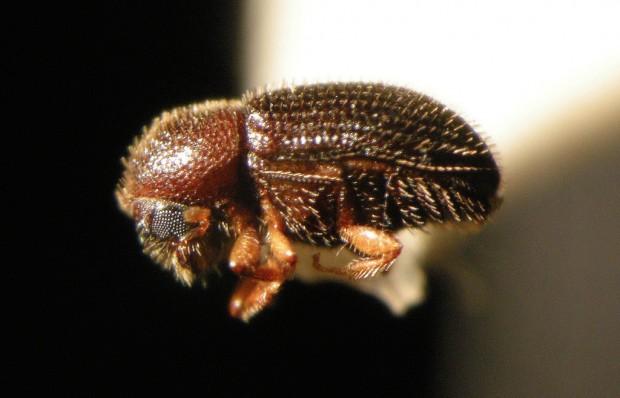 cbb_beetle