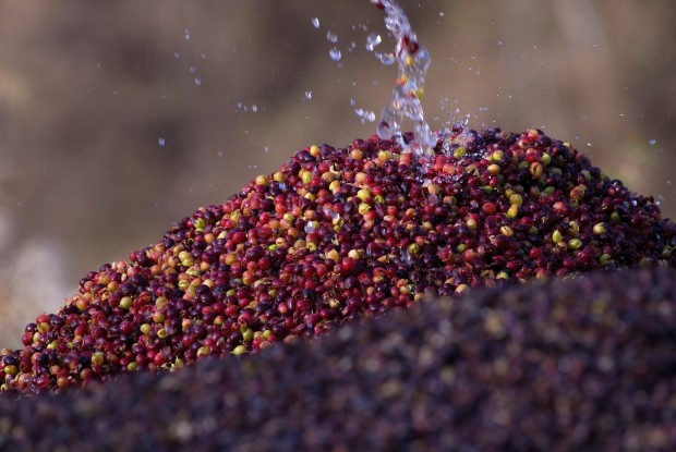 Water splashes on pile of coffee berries. © Conservation International/photo by Miguel Ángel de la Cueva