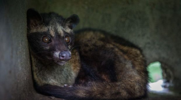 caged palm civet