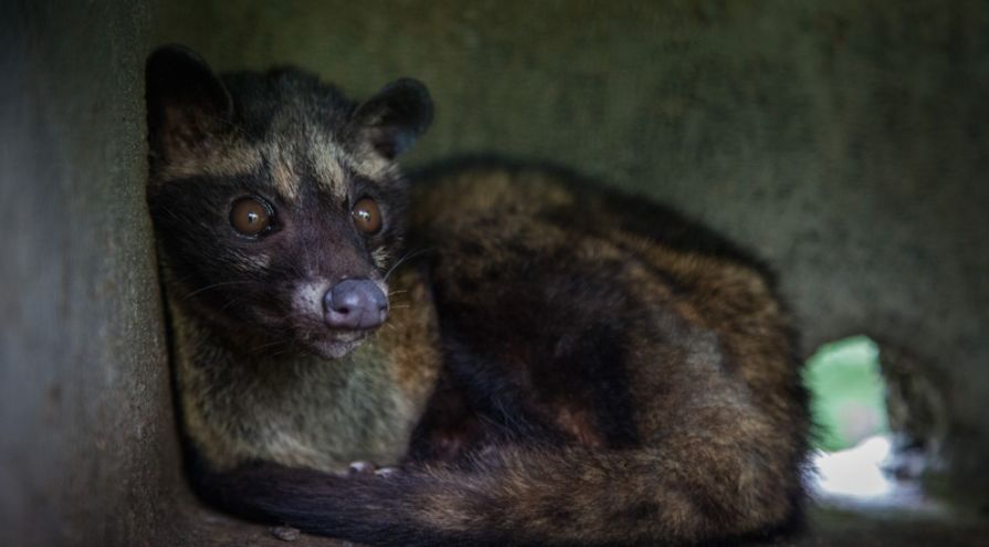 Caged Civet Coffee Tourism On The Rise In Bali Says World