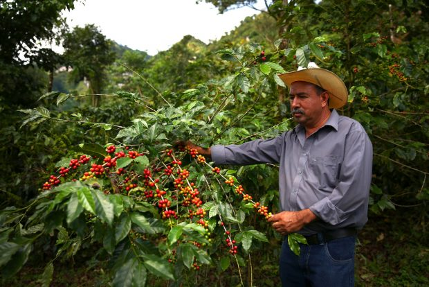 Coffee farmer Martiniano Moreno examines coffee cherries on one of his plants in the Jaltenango region of Chiapas, Mexico. Photographed on November 16, 2015. (Joshua Trujillo, Starbucks)