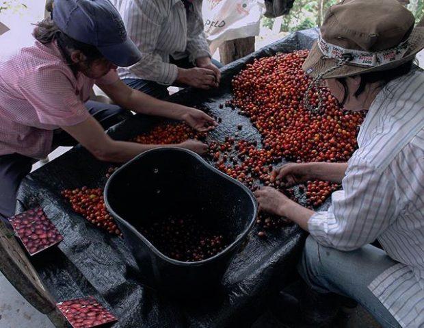 sorting ripe coffee cherries
