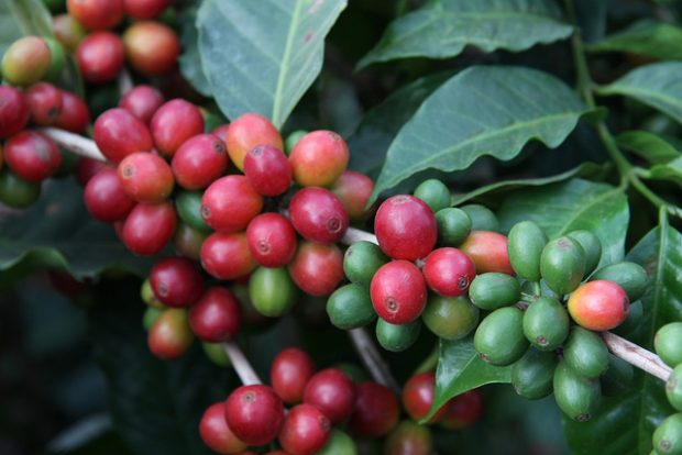 coffee plant farm