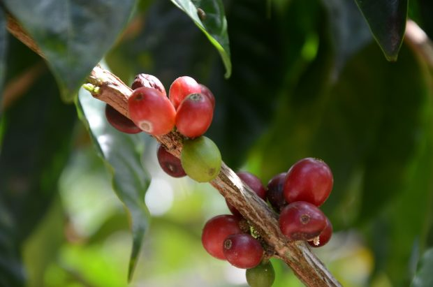 Texas A&M Establishes Center for Coffee Research and Education