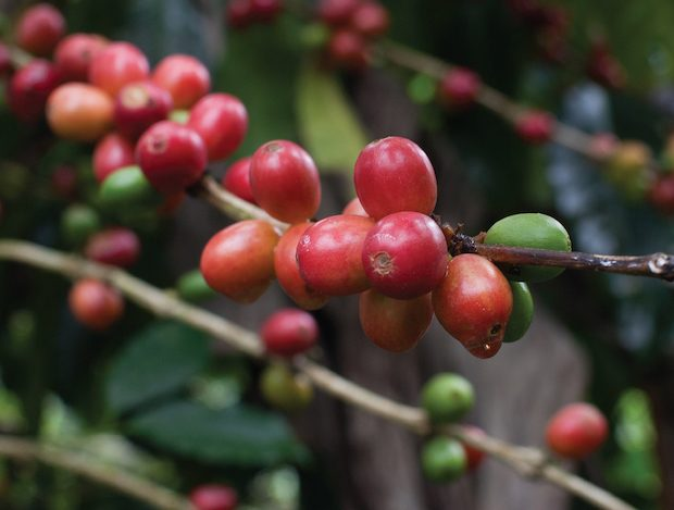 Danwatch Casts Troubling Labor Allegations in Guatemala Coffee Report