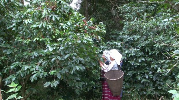ENP elephant coffee