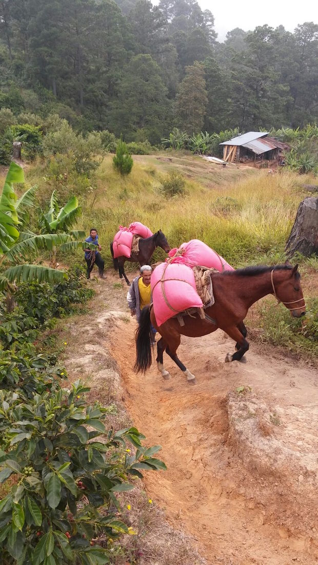 Producers in Guama Danta using horses to take coffee cherry to the de-pulper.