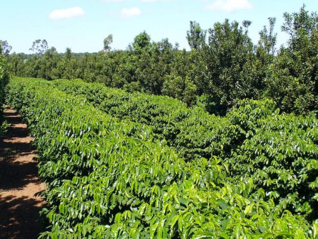 Brazilian Researchers Find Intercropping 'Perfect Marriage' with Macadamia Trees