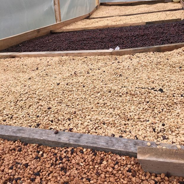 Coffees of various processes drying at La Palma y El Tucan.