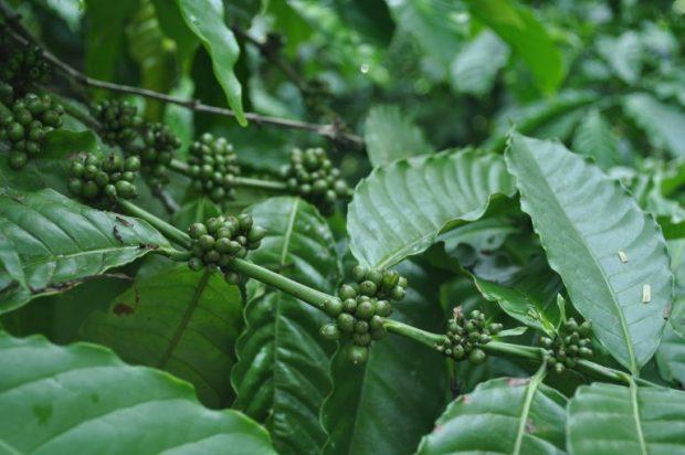 coffe-plant-768x510