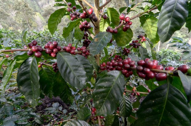 New Starmaya Hybrid Could 'Reshape the Industry,' Says World Coffee Research