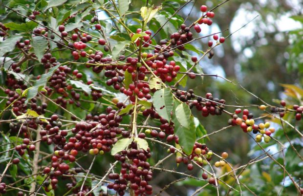 arabica coffee plants