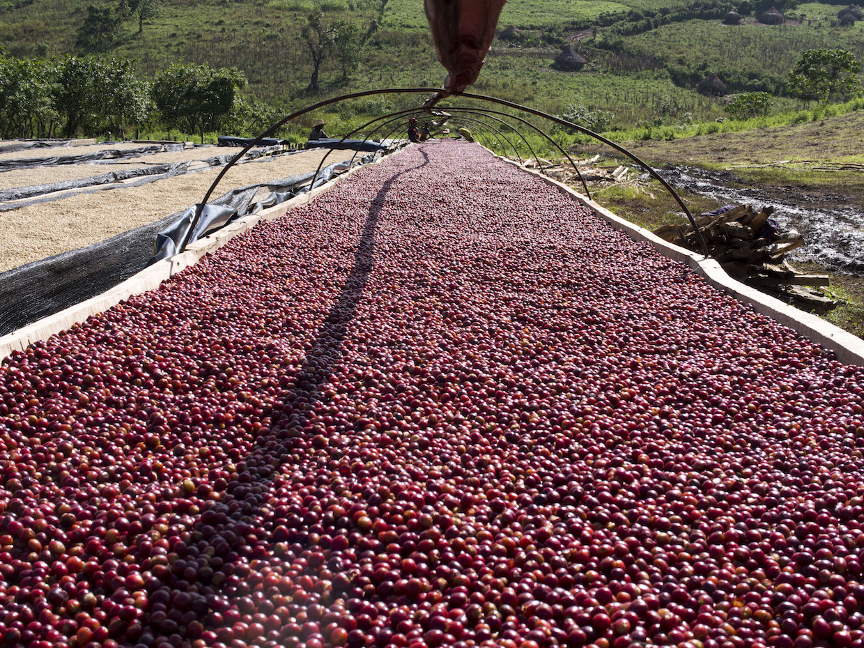 Gesha Village Coffee Estate Ethiopia