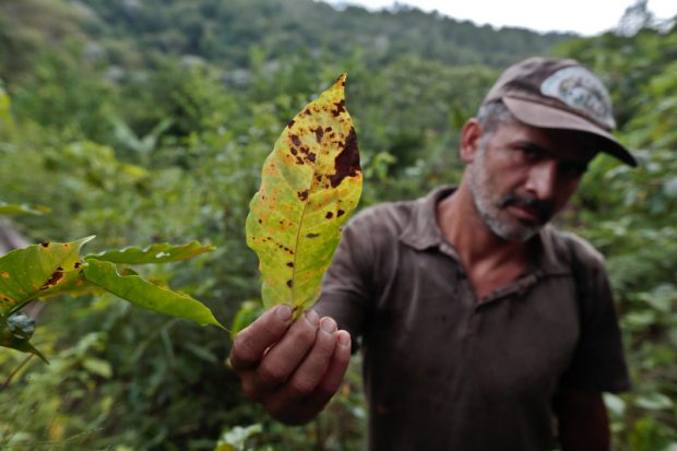 Coffee Leaf Rust Rears its Ugly Head Again in Honduras