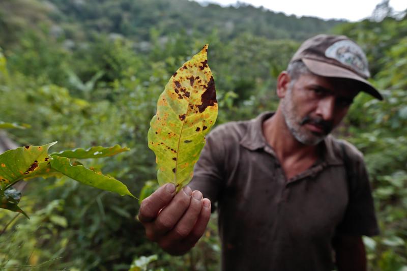 coffee leaf rust la roya
