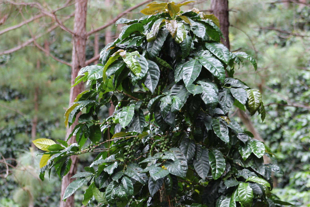 A Santa Rosa coffee tree