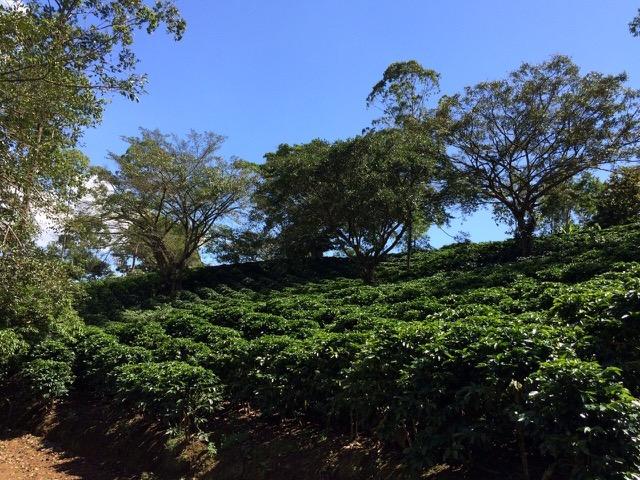 Hacienda Miramonte in Costa Rica. All images courtesy of Willows Coffee.