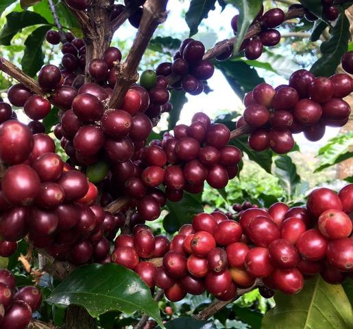 Ripe coffee at Hacienda Miramonte