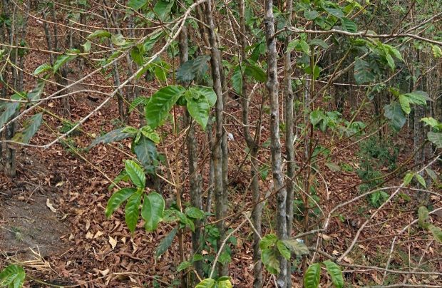 Ammunition Needed in the Ongoing Battle with Leaf Rust