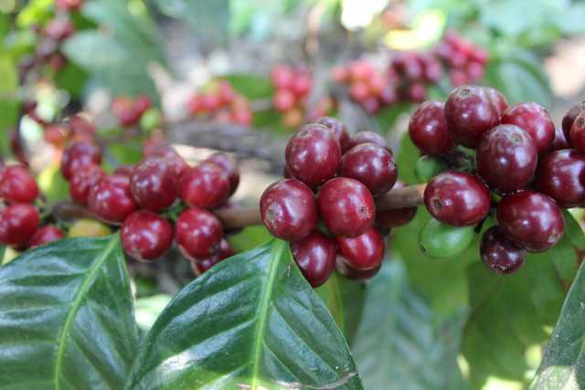 The Centroamerico F1 hybrid. World Coffee Research photo.