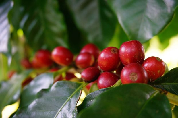 Hawaii Coffee Association Annual Cupping Competition Shows Strong Results