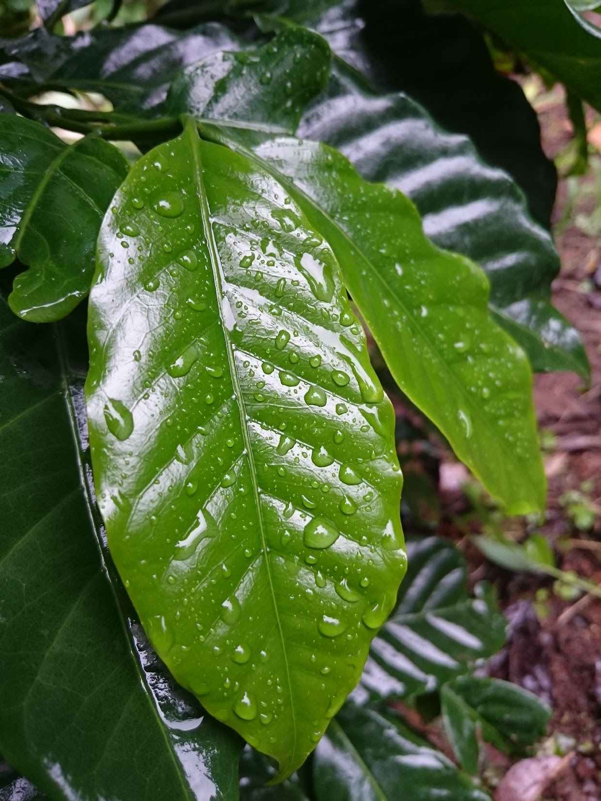 coffee tree leaf