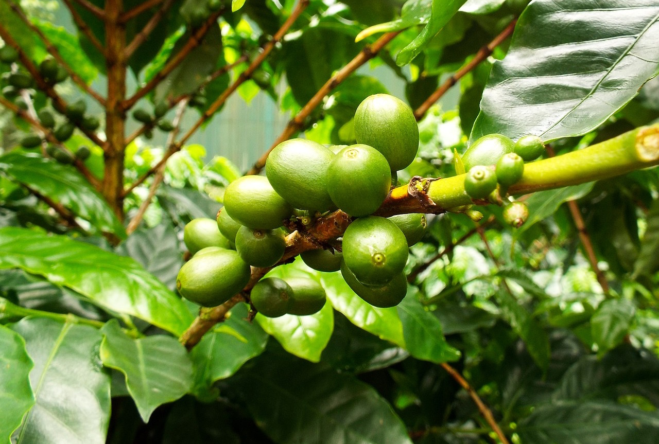 coffee variety arabica