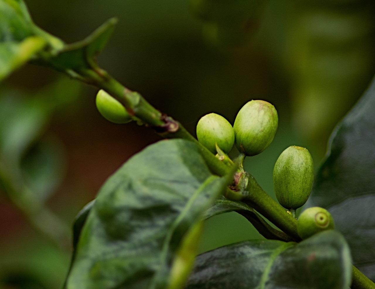 coffee tree shade
