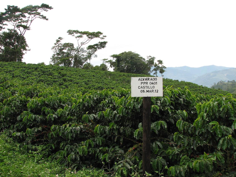 coffee variety varietal cultivar castillo