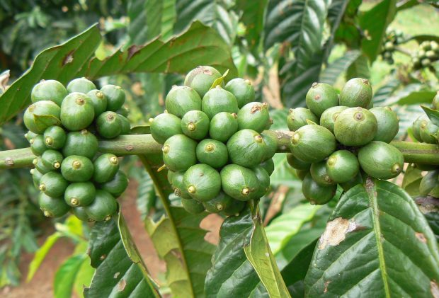 Four-Year Program Launched to Assist 60,000 Uganda Coffee Farmers