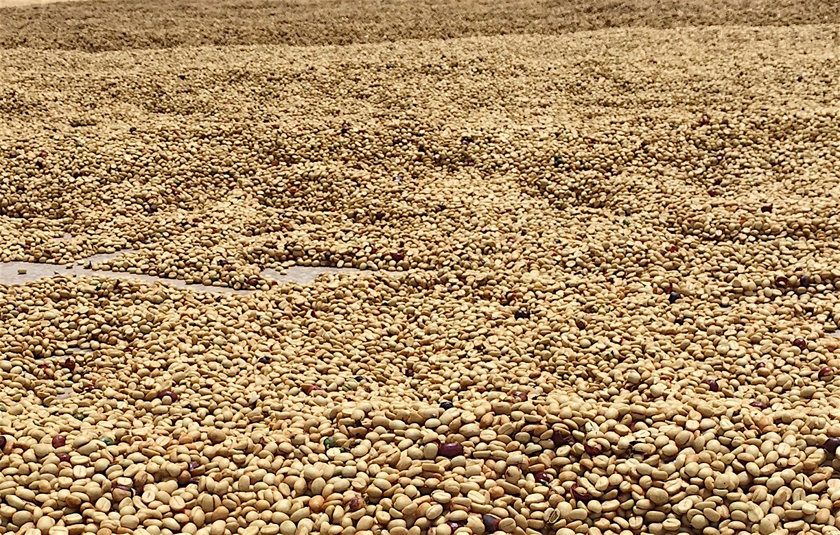 Honey Process:Get to KnowThis Sweetheart of Specialty Coffee