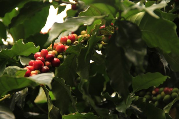 coffee plant sustainability