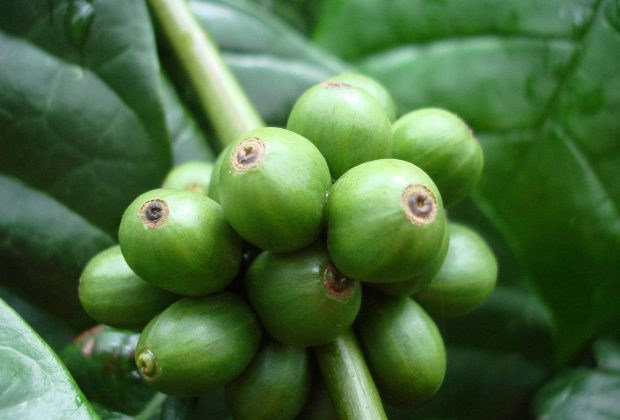 Costa Rica Agriculture Leaders Seek to Lift 30-Year Robusta Ban