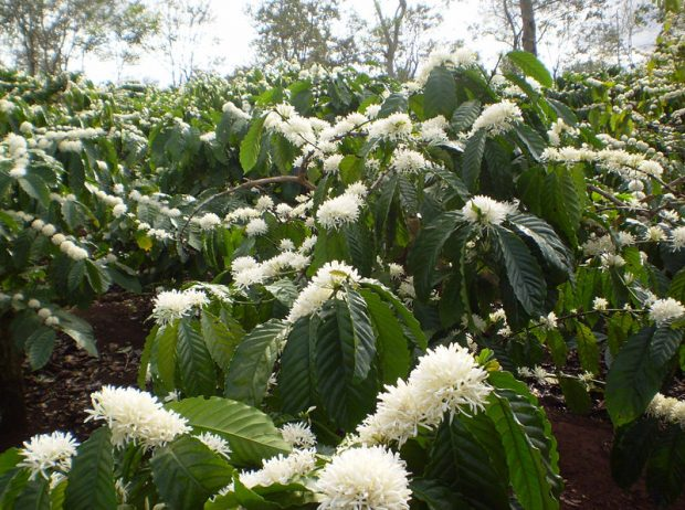 The Extraction is Fine with Robusta, But Not Robusta Fraud