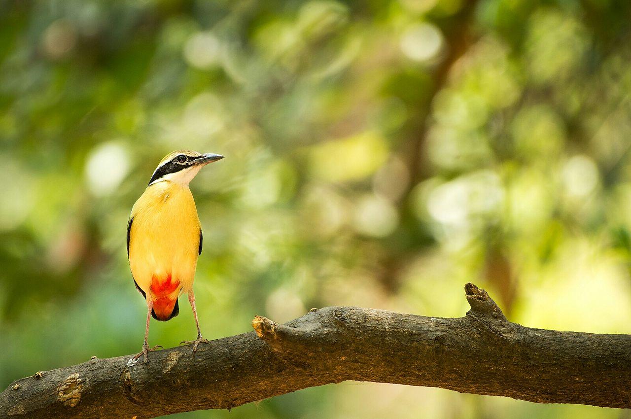western ghats coffee bird