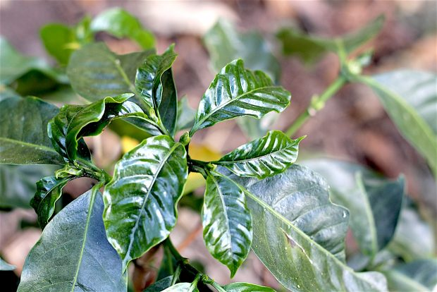 coffee seedling sustainability