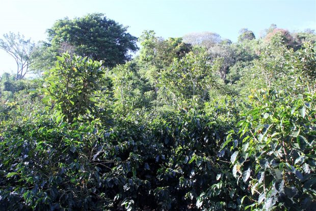 Envisioning the Future of Shade Grown Coffee