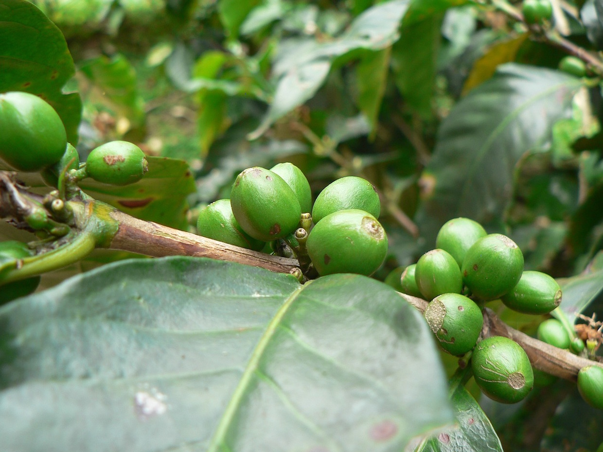 green coffee cooperative