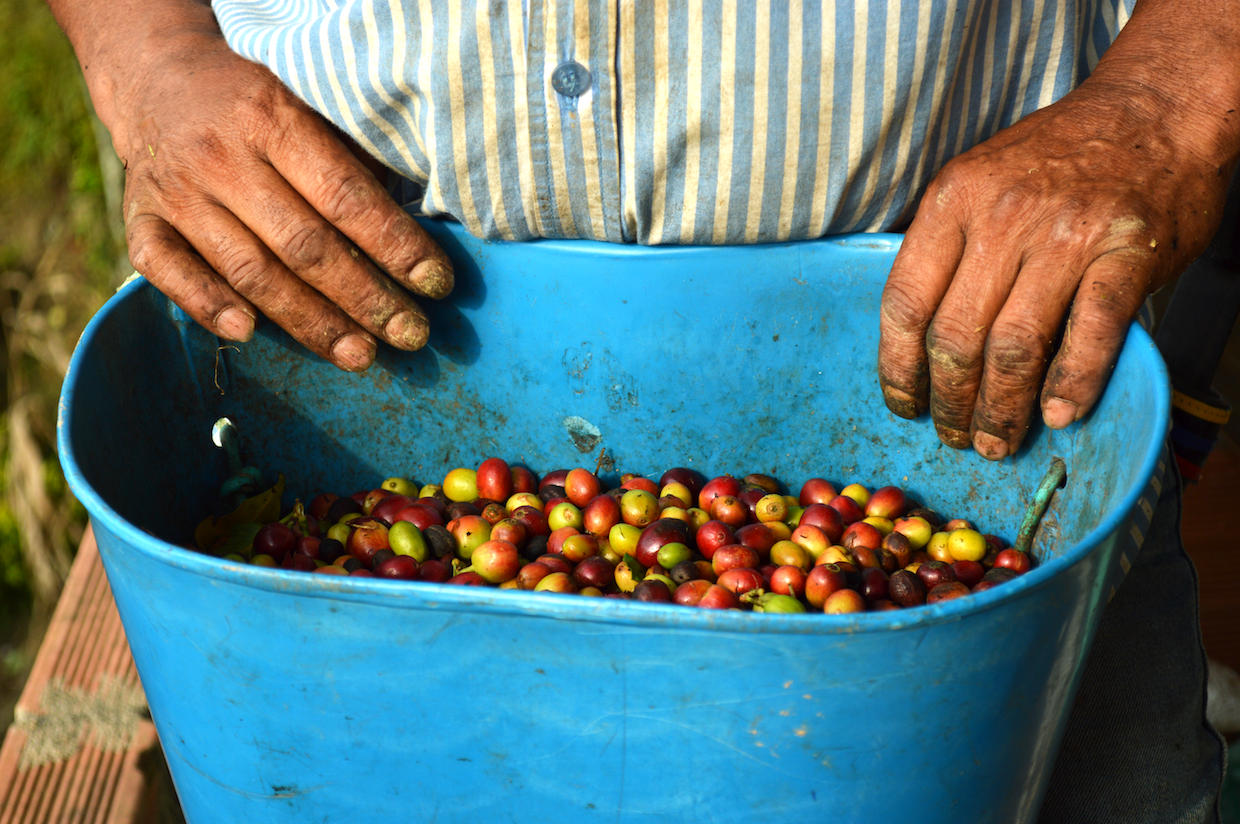 harvested coffee cherries
