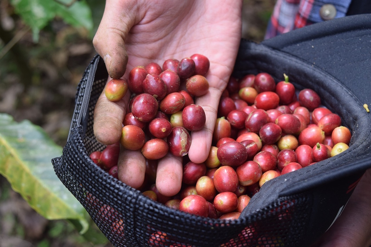 coffee farm picking