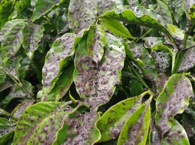Erupción del Volcán de Fuego provoca pérdidas estimadas del 0.9% de la producción nacional de café