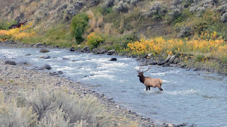 bull elk yellowstone