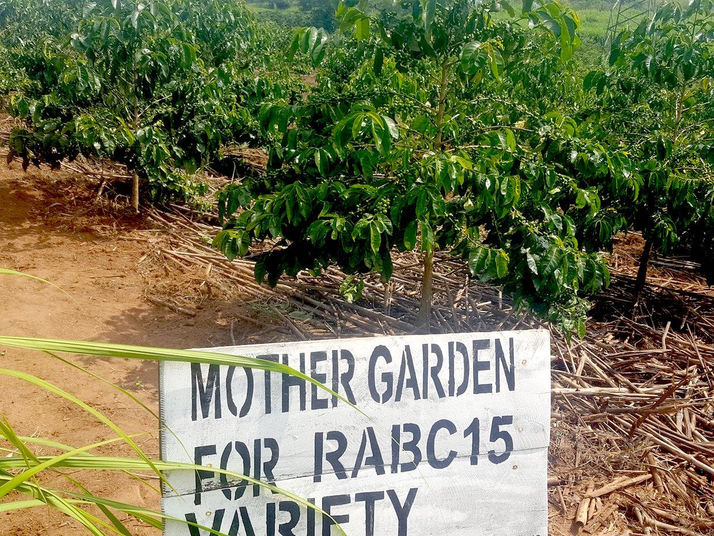 Rwanda coffee breeding hub