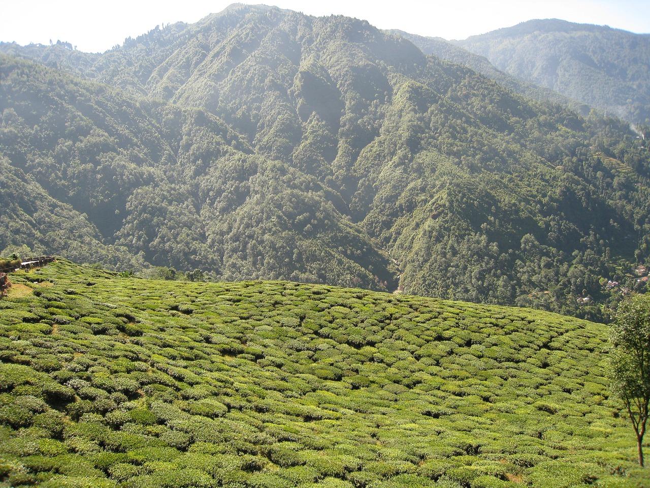 tea coffee darjeeling india