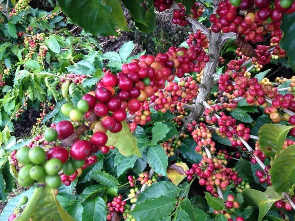 F1 Hybrid World Coffee Research