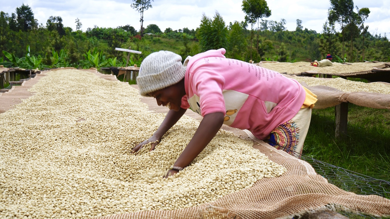 Kenya Coffee farmers drying bed